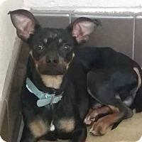 Adopt A Pet :: Bleu - Las Vegas, NV
