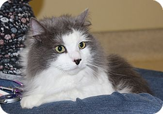 Domestic Longhair Cat for adoption in Las Vegas, Nevada - BABY KITTY