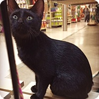 Adopt A Pet :: Rex (Manx mix, No Tail) - Walled Lake, MI