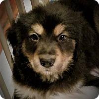 Adopt A Pet :: Wookie - Plainfield, IL