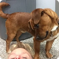 Adopt A Pet :: Shorty - Middletown, OH