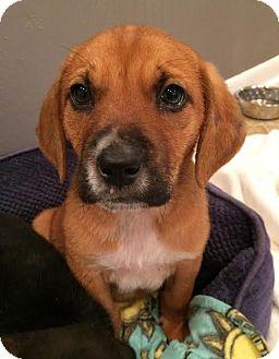 Basset Hound/Dachshund Mix Puppy for adoption in Houston, Texas - Freeze