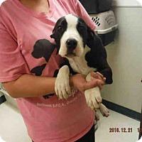 Adopt A Pet :: A572182 - Oroville, CA