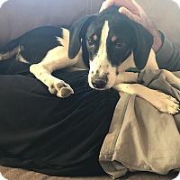 Adopt A Pet :: Basil - pending - Manchester, NH
