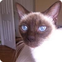 Siamese Cat for adoption in Columbia, South Carolina - Gladys