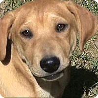 Golden Retriever/Shepherd (Unknown Type) Mix Dog for adoption in Tyler, Texas - AA-Anna