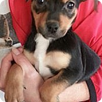 Adopt A Pet :: Jemma-Adoption pending - Bridgeton, MO