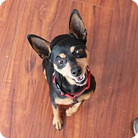 Adopt A Pet :: Cheri cuddly lapdog - Los Angeles, CA