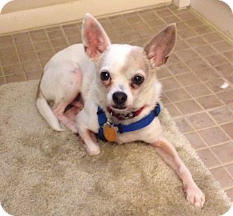 Breeders adult chihuahua available melbourne fl