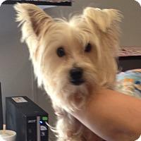 Adopt A Pet :: Sawyer - Allentown, PA