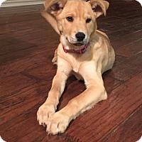 Adopt A Pet :: Maci - Frisco, TX