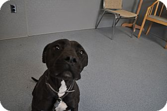 Pit Bull Terrier Mix Dog for adoption in Bay Shore, New York - Nikita