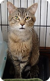 Domestic Shorthair Cat for adoption in Speedway, Indiana - Hylas