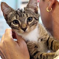 Adopt A Pet :: Kojak - Sarasota, FL