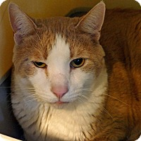 Domestic Shorthair Cat for adoption in Victor, New York - Ziggy
