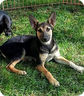German Shepherd Dog Mix Dog for adoption in Castaic, California - William