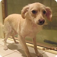 Spaniel (Unknown Type)/Chihuahua Mix Dog for adoption in La Mesa, California - SIMON