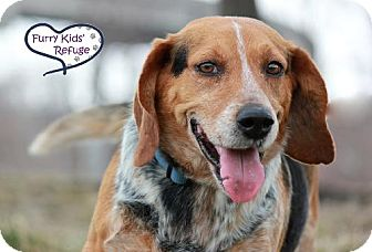 Beagle Dog for adoption in Lee's Summit, Missouri - Waldo