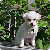 Adopt A Pet :: Whitney - Boise, ID