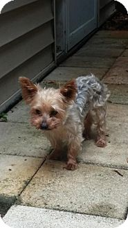 Yorkie, Yorkshire Terrier Dog for adoption in Naples, Florida - Cosmo