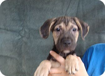 German Shepherd Dog/Boxer Mix Puppy for adoption in Oviedo, Florida - Kenny