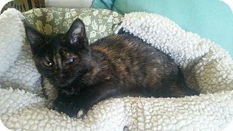 Domestic Shorthair Kitten for adoption in Media, Pennsylvania - Cleo-is blind in 1 eye