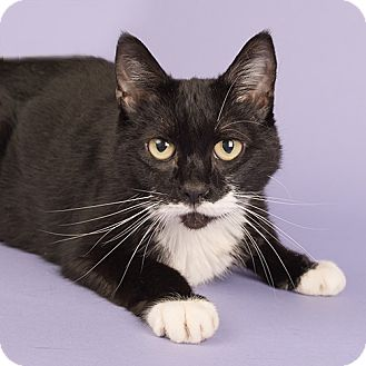 Domestic Shorthair Cat for adoption in Wilmington, Delaware - Miracle