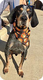 Bluetick Coonhound/Coonhound (Unknown Type) Mix Dog for adoption in Avon, Ohio - Elton