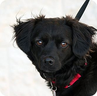 Spaniel (Unknown Type) Mix Dog for adoption in Palmdale, California - Merit
