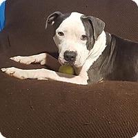 Adopt A Pet :: Chance - Conroe, TX