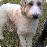 Adopt A Pet :: Lacey Mae - Orlando, FL