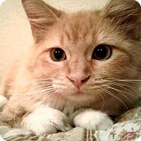 Domestic Mediumhair Kitten for adoption in Spring Valley, New York - Texas