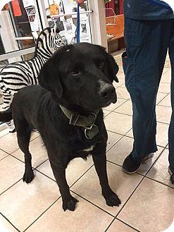 Labrador Retriever Dog for adoption in Towson, Maryland - Sam