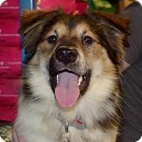 Australian Shepherd/Border Collie Mix Dog for adoption in Knoxville, Tennessee - MURPHY