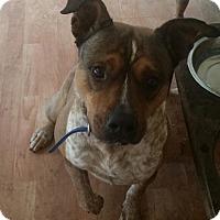 Adopt A Pet :: Blue - Rosemount, MN