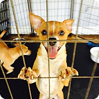 Chihuahua/Terrier (Unknown Type, Small) Mix Dog for adoption in Claxton, Georgia - Jagger