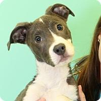 Adopt A Pet :: Petrelli - Richmond, VA