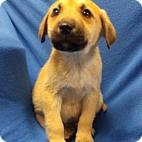 Adopt A Pet :: Ethan II - Dallas, TX