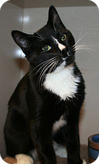 Domestic Shorthair Cat for adoption in Edmonton, Alberta - Comet