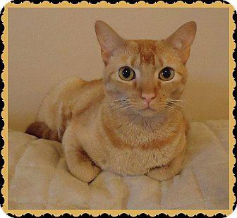 Domestic Shorthair Cat for adoption in Fenton, Missouri - Marigold