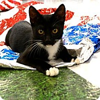 Adopt A Pet :: Whiskers - Chandler, AZ