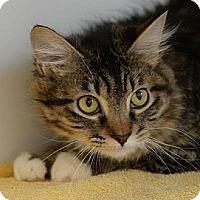 Domestic Mediumhair Cat for adoption in Denver, Colorado - Vicky