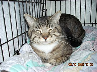 Domestic Shorthair Cat for adoption in HAMMOND, Oregon - ROCKY ROAD