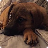 Adopt A Pet :: Cupid - Carteret/Eatontown, NJ