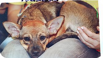 Cattle Dog/Chihuahua Mix Dog for adoption in Palmetto Bay, Florida - Anastasia
