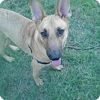 Shepherd (Unknown Type)/Belgian Malinois Mix Dog for adoption in Boca Raton, Florida - Cody