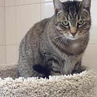 Domestic Shorthair Cat for adoption in New York, New York - Lenore (Westhampton)