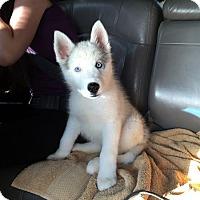 Adopt A Pet :: Ciri - Irvine, CA
