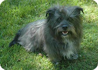 Skye Terrier Dog for adoption in Santa Clarita, California - Shady