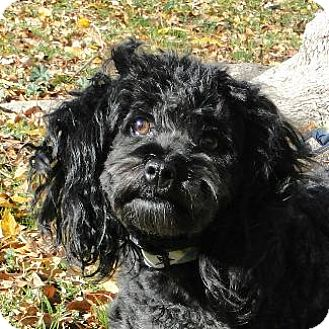 Poodle (Miniature) Dog for adoption in Pt. Richmond, California - FLASH